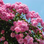 5月25日花ファス記念公園の薔薇