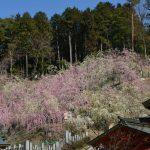 大縣神社の枝垂れ梅